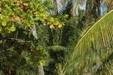 Séchage du coprah sur l'atoll de Kauehi_M.Verducci