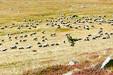 Pastoralisme sur le Mont Lozère_©Alain Lagrave