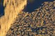 Roselière partiellement exploitée pour la sagne_Syndicat Mixte Camargue Gardoise